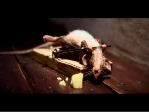Mus går lös på råttfällan