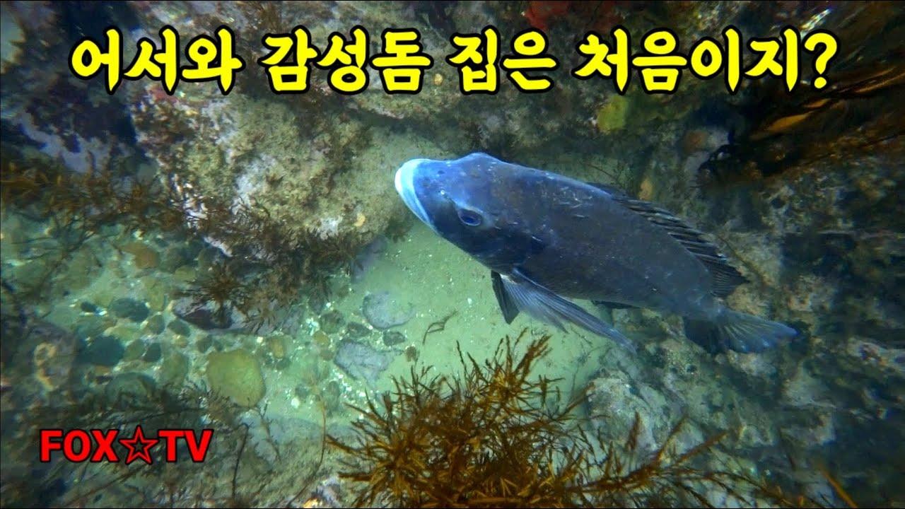 감성돔이 사는곳 바로이런곳입니다/감성돔수중영상-FOX☆TV
