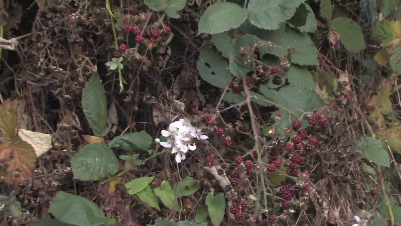 Plant Care Gardening When To Prune Blackberries