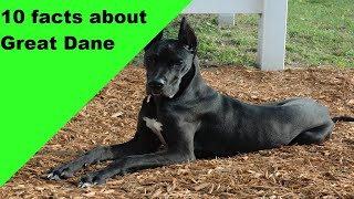 10 Facts about Great Dane Dog Breed (dogs 101)