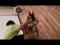 German Shpeherd dog getting and enjoying a belly rub