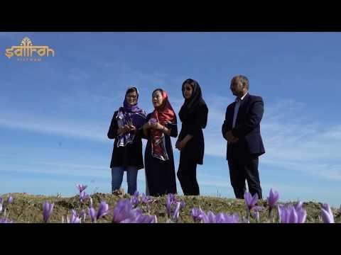 Thu Hoạch Nhụy Hoa Nghệ Tây (Saffron Iran) | Saffron Việt Nam