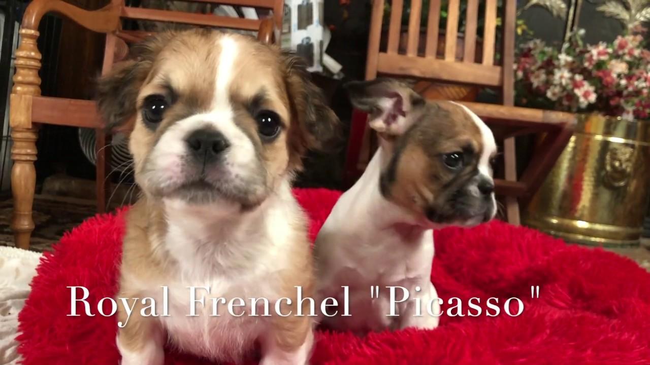 Royal Frenchel, Hybrid Designer Breed French Bulldog Mix