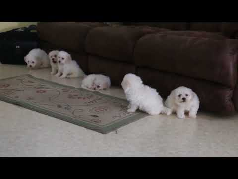 Bichon Puppies for Sale Chester King
