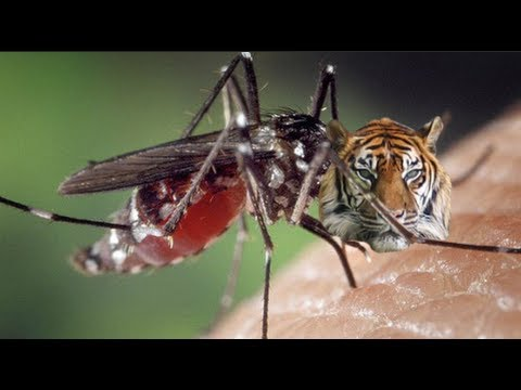 Asian Tiger Mosquitoes Invading U.S.