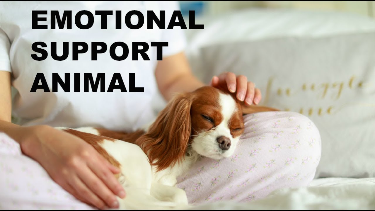 Image of: Esa Emotional Support Dog How To Get An Emotional Support Animal Herky The Cavalier Journalists Resource Emotional Support Dog How To Get An Emotional Support Animal Youtube