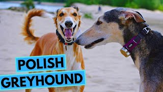 Polish Greyhound Dog Breed  Facts and Information