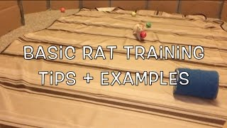 Basic Rat Training - Getting Started + Examples!