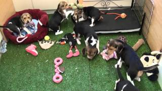 Little Rascals Uk Breeders New Litter Of Pedigree Beagle Puppies - Puppies For Sale 2015