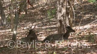 Timor Deer, Rinca, Indonesia. 20130925_105313.m2ts