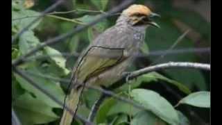 suara burung cucak rawa ropel gacor