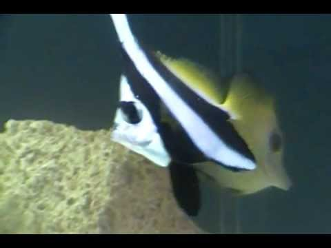 Heniochus Black & White Butterflyfish 12/4/11