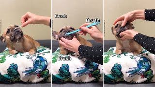 MY DOG'S BEAUTY ROUTINE| How to take care of a French Bulldog❤️