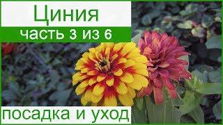 видео Цветы агератум - посадка и уход, правила выращивания