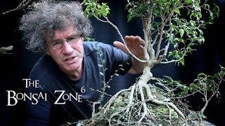 Pruning Back My Tall Bonsai, Part 2, The Bonsai Zone, Oct 2019