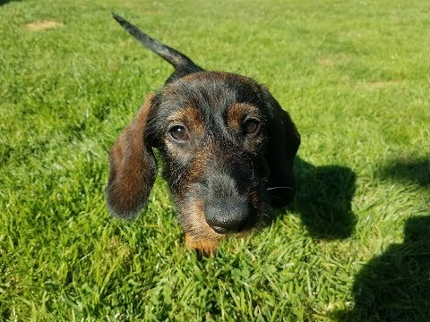 Frankie - 5 Month Old Miniature Dachshund - 4 Weeks Residential Dog Training