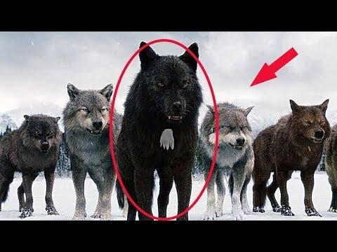 Tak proto myslivci nechávají být Vlky s bílou skvrnou na hrudi!