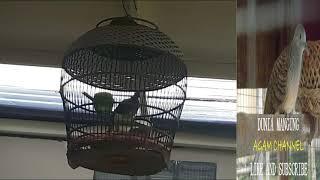 Suara Burung Perkutut Lokal Merdu