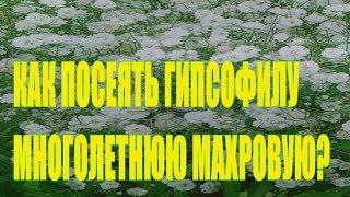Как посеять гипсофиллу махровую многолетнюю?