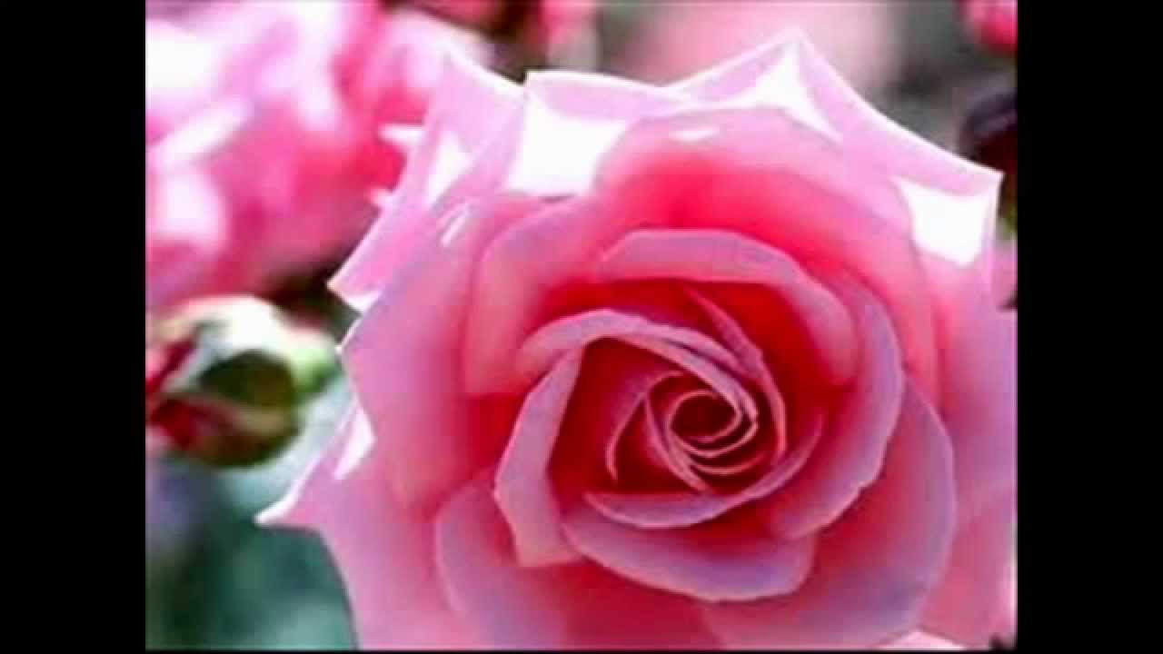 Significado color rosa youtube - Rosas amarillas significado ...