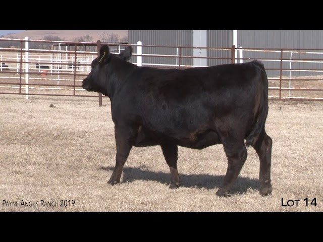 Payne Angus Ranch Lot 14
