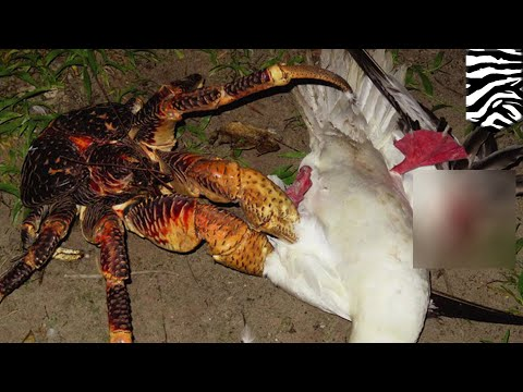 Coconut crab catches dinner: Giant robber crab grabs a quick snack - TomoNews
