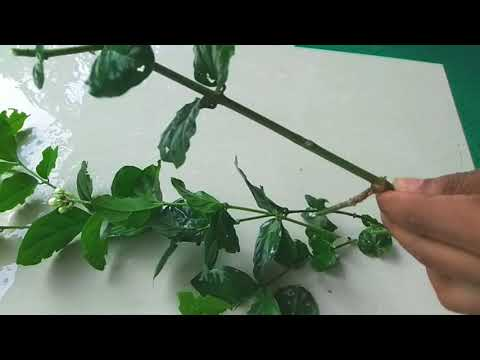 how-to-grow-jasmine-plant-from-cuttings-|-grow-jasmine-in-pot