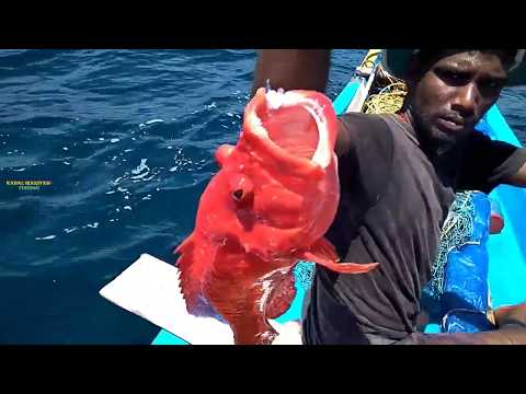 Tuna / Goliath Grouper Fish Catching / Red Grouper Video In Offshore