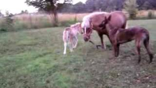 McGee the Miniature pony running laps (Ziva looks on)