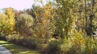 Fall Colors, Park And My Dog Chester, German Shorthaired Pointer, Or Gsp