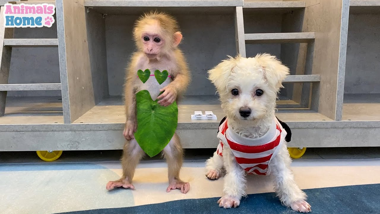 Amee dog steals BiBi's clothes