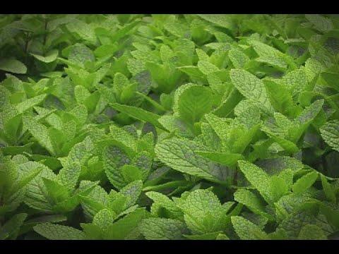 Cultivo de hierbas arom ticas tvagro por juan gonzalo for Cultivo de plantas aromaticas y especias