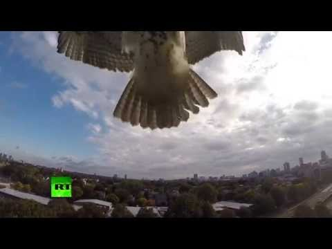 Hawk attacks drone! 'Angry bird' takes down quadcopter from skies