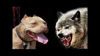 Питбуль VS волк встреча питбуля и волка в дикой природе #Pitbull #pitbullvswolf #питбуль и волк