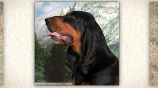 Black And Tan Coonhound Training