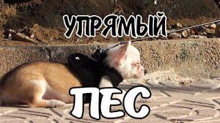 Упрямый пёсик не хочет идти с хозяином))
