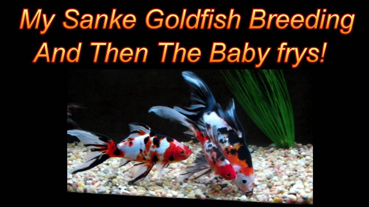 Blackwater Creek Sanke Gold breeding goldfish