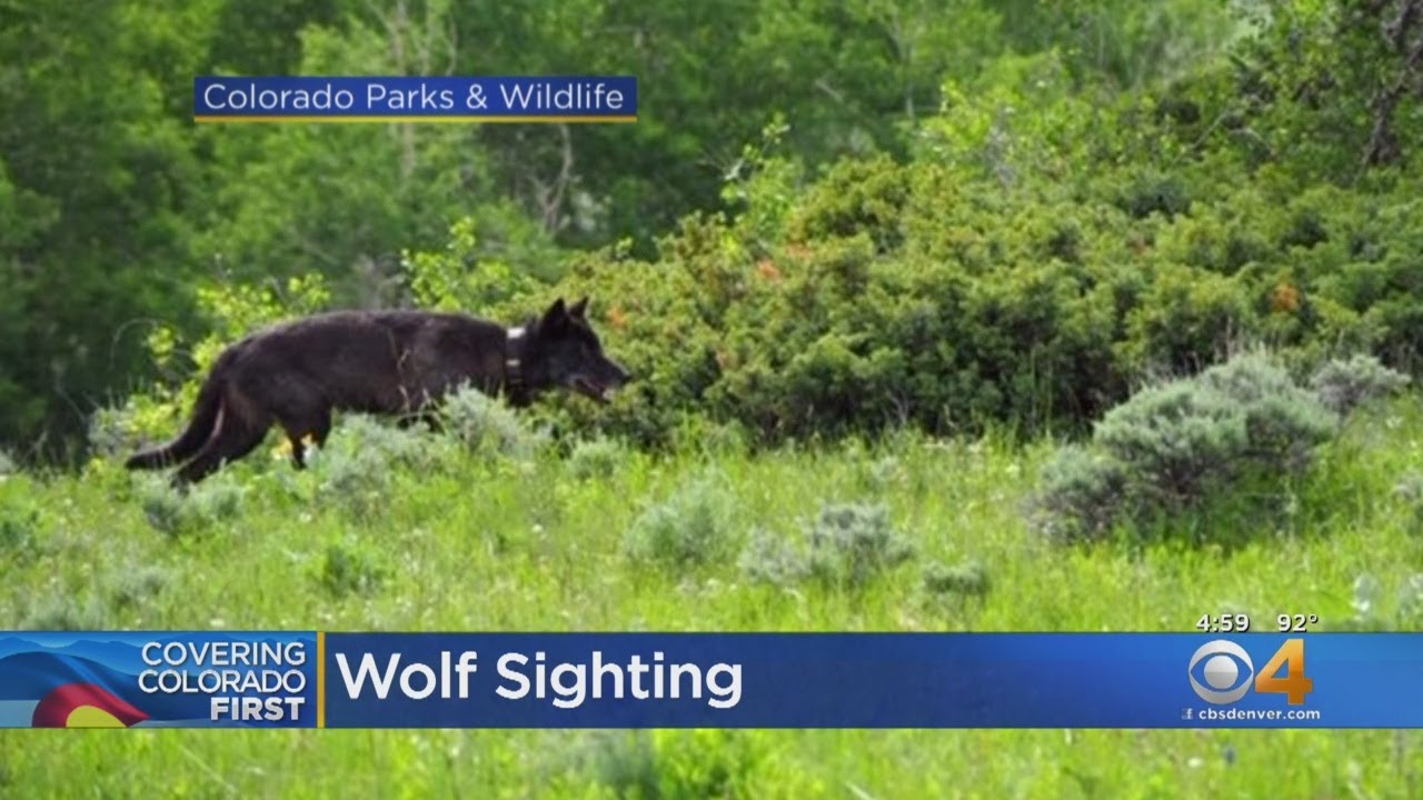 Possible Wolf Sighting In Northern Colorado Sparks Debate