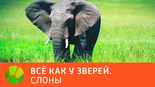 Слоны  Все как у зверей