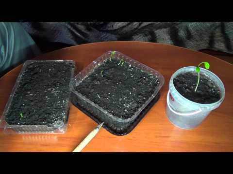Всходят семена мандарина, помело (признаю свои ошибки)