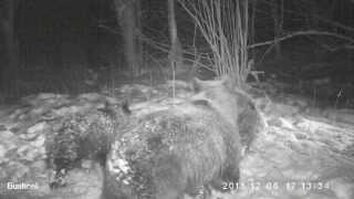 Wilki, niedźwiedzie i lisy w Bieszczadach /Wolves, bears and foxes in the Bieszczady Mountains