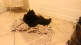 My Cat: Roary the burrito kitty
