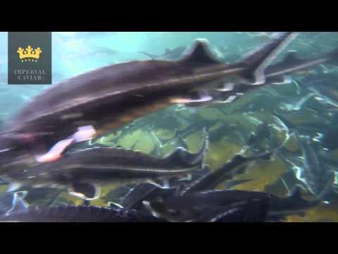 "Beluga Sturgeon Farm ""Saaee Aquaculture"" In Iran"