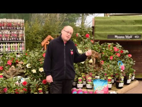 How To Care For Camellias