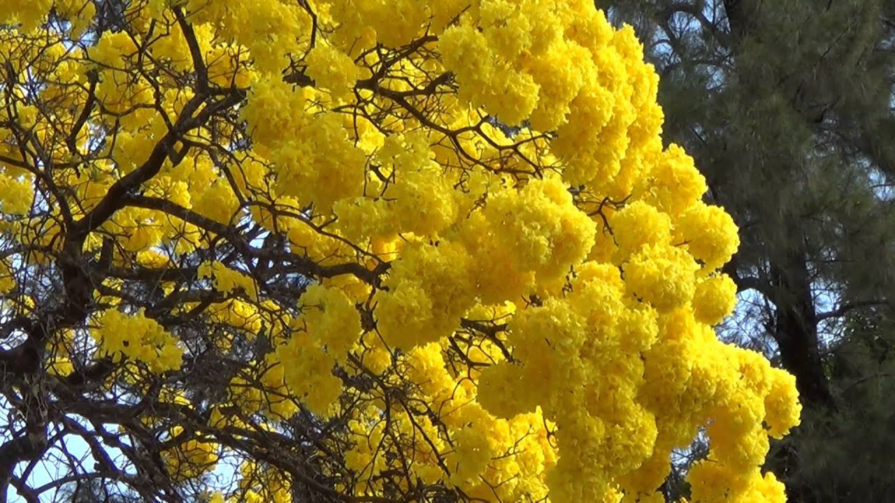 Winter Blooms Flowering Trees Colors Of Nature Tabebuia Flora