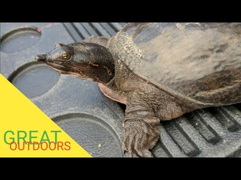 Huge Florida Soft Shell Turtle rescued from certain death