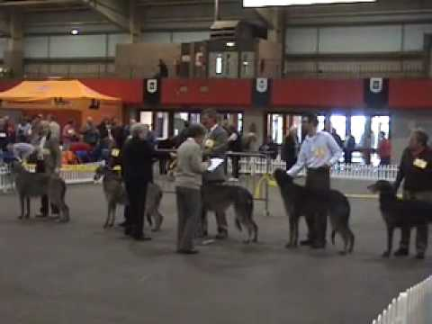 Scottish Deerhounds, Scottish breeds Show 2007
