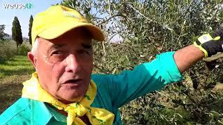 Potatura olivo troncoconica con Fernando (parte 1 di 2) - Guida passo passo  per potare un olivo