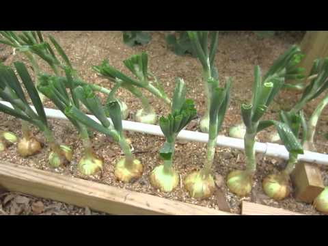 How To Grow Big Bulb Onions