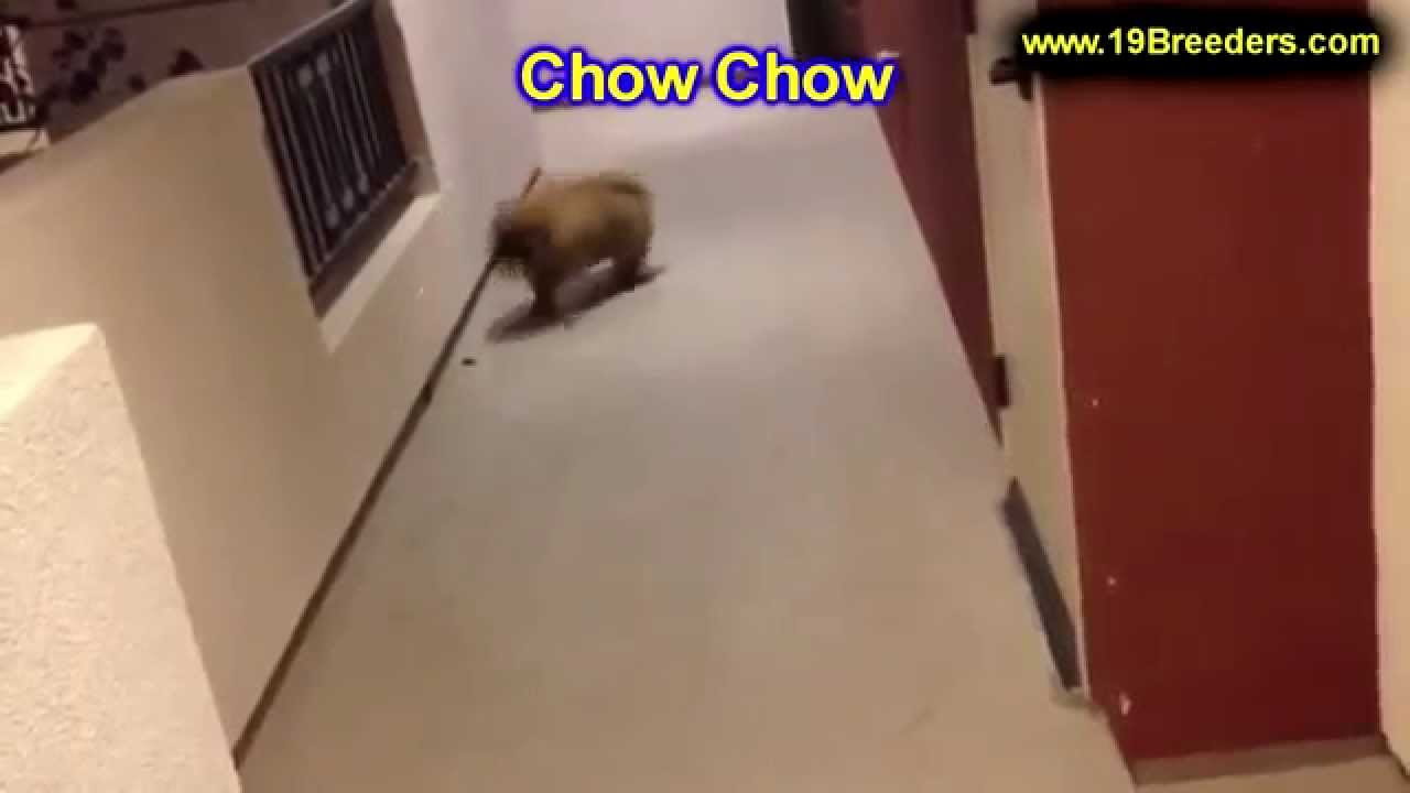 Chow Chow, Puppies, Dogs, For Sale, In Virginia Beach ...